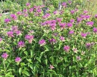 Monarda- Mintleaf Bee Balm - 50 Seeds