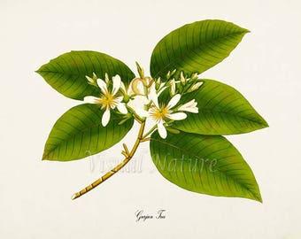 Gurjun Tree Art Print, Botanical Art Print, Gurjun Tree Wall Art, Botanical Print, green white art print