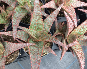 Medium Succulent Plant Aloe Lavender Star. A Beautiful And Lovely Shaped  Aloe.