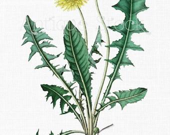 Flowers Clipart 'Dandelion' Botanical Art Digital Download for Wall Art Prints, Wedding Invitations, Collages, Crafts...