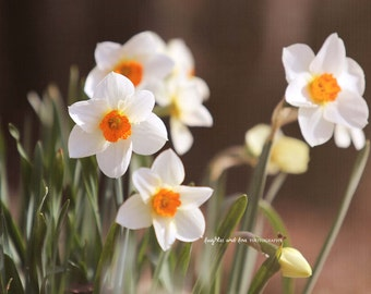 Daffodils Fine Art Photography Shabby Chic White Narcissus Yellow Orange Flower Floral Spring Nature Cottage Home Decor Wall Art