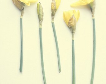 Daffodil Botanical Print Family of 5 Butter Yellow Green Springtime Mothers Day Still Life Nature Photography, Fine Art Print