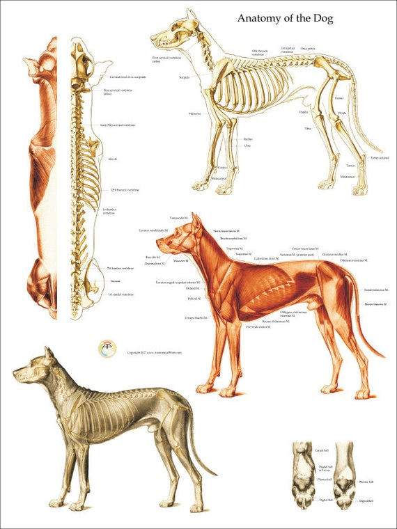 Dog Muscle Skeletal Anatomy Poster Wall Chart 18 X