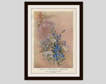 Fringed Gentian Antique Botanical Print Country Cottage Decor Botany Flower Victorian Floral Wall Art Wildflower Illustration, (ERW64)