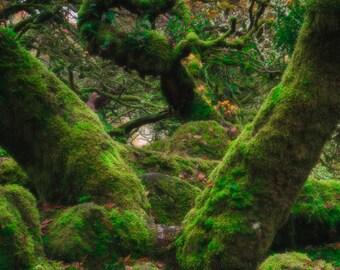 Wistmans Portrait, woods, green, moss, wistmans, photo, photograph, print, framed, mystical