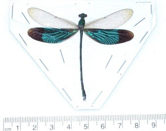 One Real Green Dragonfly Damselfly Mounted Packaged Insect Artwork Wholesale Neurobasis chinensis