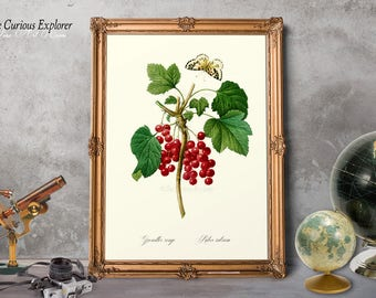 Red Currant Art, Red Currant Poster, Red Currant Print, Botany Fruit Art, Entryway Fruit Art, Antique Fruit Art, Red Currant Decor - E11_1