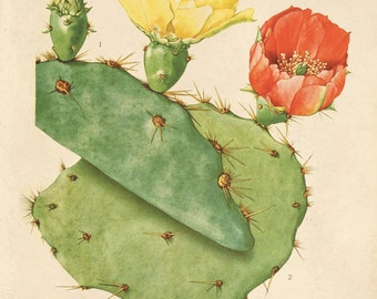 Cactus Flower Botanical Print Plate 31. Prickly Pear Educational Vintage Chart Diagram Cactus Desert Poster Pull Down Chart flowers CP283
