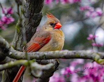 Female Cardinal in Redbud Tree