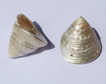 Large shell mother of Pearl C1 - 09