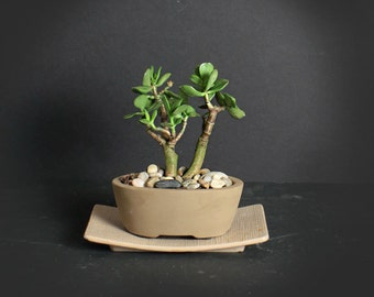 Crassula ovata bonsai tree, succulent bonsai collection from LiveBonsaiTree