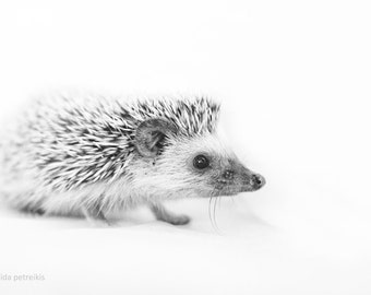 Hedgehog 4x6 inches fine art photograph Original signed photo print -Small African hedgehog Nursery wall art Woodland gift for animal lover