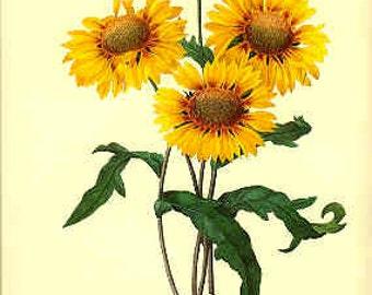 Redoute Botanical Print -  - Galardia - 44