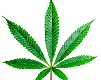Cannabis Leaf Cannabis Art Seed 710 OIL Dab Concentrate Real Leaf Weed Marijuana 420 Kush - Large Format Fine Art Photo Prints Canvas Vinyl