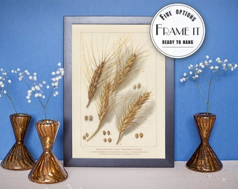 "Vintage illustration of Wheat - framed fine art print, botanical art, home decor 8""x10"" ; 11""x14"", FREE SHIPPING - 89"