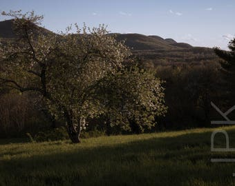 Blooming Apple Tree, Mount Pollux, Amherst, Western Massachusetts