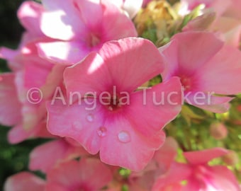 Water Droplets on Summer Phlox - Digital Download