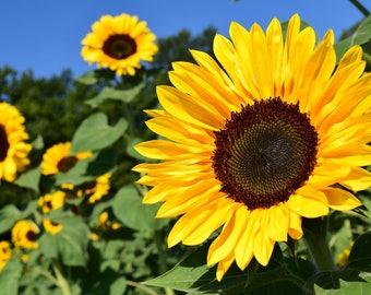 Sunflower Seeds 20+