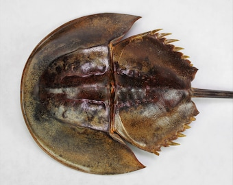 """11""""-12"""" Creepy Horseshoe Crab, Head is 5 to 6"""", Real Taxidermy Preserved Dried Animal Specimen Decoration"""