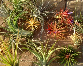 WHOLESALE Air Plants Mix of Five