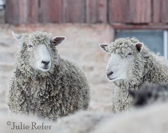 sheep, rustic decor, french country, farm animal photography