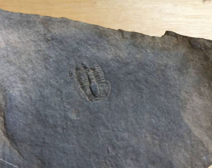 USA Cambrian Trilobite fossil in Matrix Small  No. 004