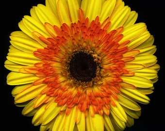 Yellow Orange Daisy