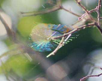 """Nature Photography, Spiderweb, Rainbow, Greenery, In the Garden, 4x6, 6x9, 8x10 or 8x12. """"Bewebbed - Rainbow No.1""""."""