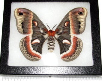 REAL framed cecropia moth saturn moth female USA