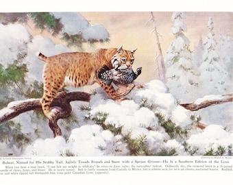 1940s Bobcat Print -  Vintage Antique Animal Zoology Zoo Cat Home Decor Book Plate Art Illustration for Framing