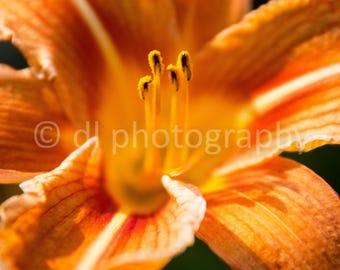 Orange Lilly Wall Art