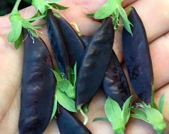 Purple Podded Peas Rare Heirloom Seeds Grown To Organic Standards Shelling Peas