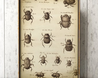 Large Beetle poster, Beetle poster A3, Beetle wall decor, scientific study, antique Beetle, aged black and white print