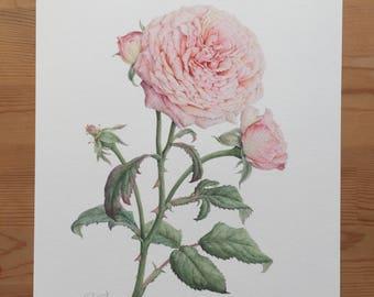 Rose , Watercolor , Giclee print , Botanical art