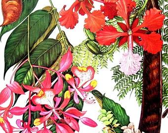 Pride of Burma, Gul Mohur, Luck Plant - Southeast Asia  - Botanical Print - Vintage Flower Print 1988 p114