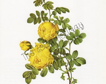 Vintage Redoute Yellow Rose Print, Botanical Book Plate, Art Print, Pierre Joseph Redoute 1978