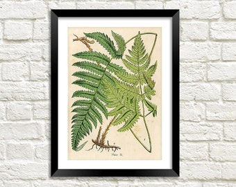 FERNS PRINT: Vintage Botanical Art Illustration Wall Hanging (A4 / A3 Size)