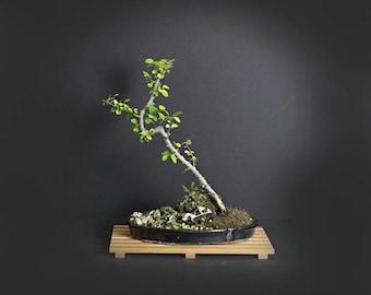 Lavender Starflower bonsai tree, Heavenly Bloom collection from LiveBonsaiTree