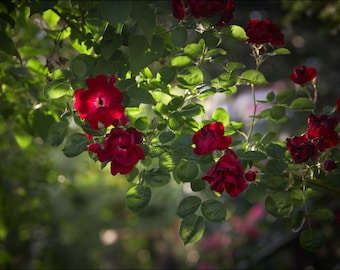 Wild Red Rose - Color Photo Print - Fine Art Nature Photography (R02)