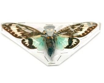Cicada Tosena splendida Real Insect Spread