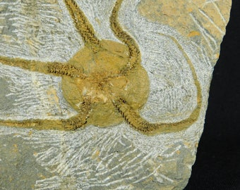 A Big! 440 Million Year Old 100% Natural STARFISH Fossil From Morocco! 640gr