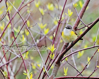 American Redstart Fine Art Warbler Photography Neotropical Migrant Bird Nature Lover Photo Gift Gray Yellow Home Office Decor Bird Art Print