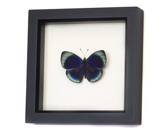Framed Butterfly Charles Darwin Shadowbox Display
