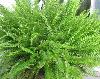 "BOSTON FERN - Original - 4"" Potted Plant - Live Plant"