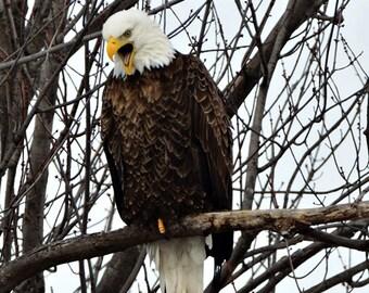 Bald Eagle Photos, Wild Bald Eagle, Wildlife Photography, Wildlife Photos, Nature Photography, Bald Eagle Prints, Birds of prey, Bird Photos