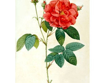 MAKE ANTIQUE PRINTS - Large Format High Resolution Image Group 'Les Roses' by P.J. Redoute Group #01 Download