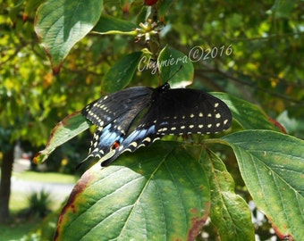 Black Swallowtail. Photography Giclée Print.  Art Photography.  Black winged Butterfly. Yellow spotted wings. Spring butterfly
