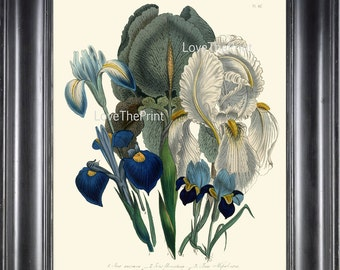 BOTANICAL PRINT Loudon Flower  Botanical Art Print 18 Beautiful Antique Blue Purple Iris Spring Garden