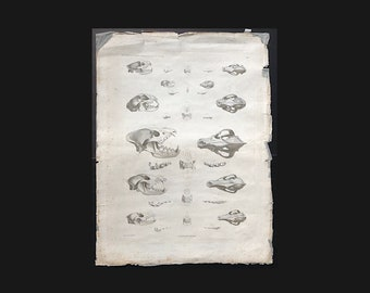 c. 1808 LARGE ANIMAL SKULLS engraving - antique animal anatomy print - Napoleon's expedition to Egypt -  skull print - animal skeleton print