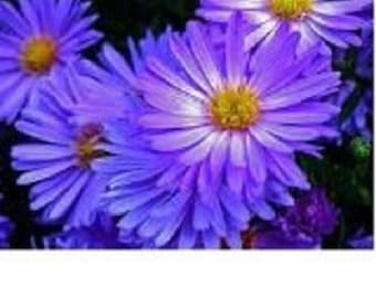 25+ Aster Rudolph Geothe / Annual Flower Seeds